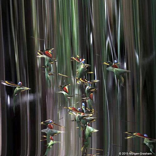 """Lorikeets - Framed 16x16"""" Glicee Print"""