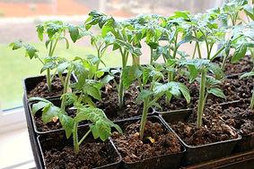 Beefsteak-Tomato-Plant-Seedling.jpg
