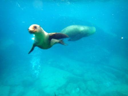 UnCruise Baja California Schwimmen mit Seelöwen