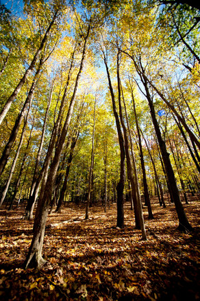 Tall Cotton Wood Trees