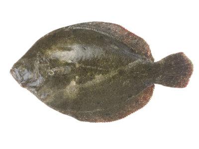 La Barbue est proche du Turbot mais plus ovale et avec une peau lisse