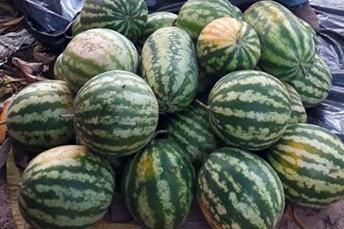 Agraer de Coxim visita produção de melancias gigantes em Sonora