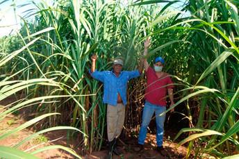 Agraer auxilia produtor na confecção de silagem de capim elefante BRS Capiaçu em Ribas do Rio Pardo