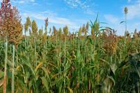 Equipe do Cepaer avalia variedades de milho e sorgo para silagem