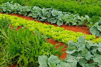 Produção de hortaliças folhosas ganha normas e selo de certificação