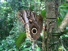Panamainsects.org; Caligo atreus dionysus