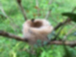 Panamainsects.org; hummingbird nest