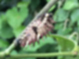 Panamainsects.org; Parides sesostris caterpillar