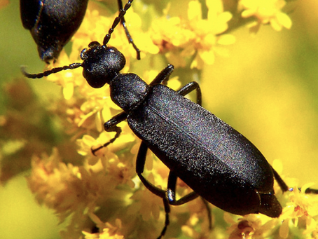 Fred's Bughouse Blog: Blister Beetles Part Two