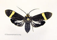 Panama moths and other insects from Panama