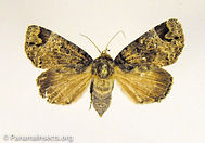 Tropical moths and other insects from Panama