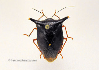 Panama Insects | tropical insects