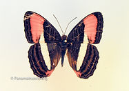 PanamaInsects.org -- A free resource for students and educators that features an extensive collection of moths and other insects from an island in western Panama.