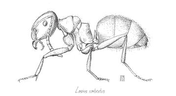 Lasius umbratus ant drawing.jpg