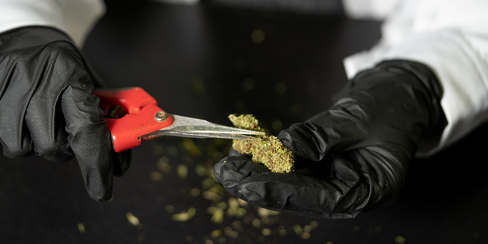 Black Market Marijuana Prosecutions