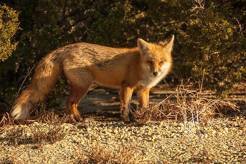 W33F Island Beach Fox