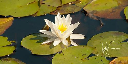W60P Lily