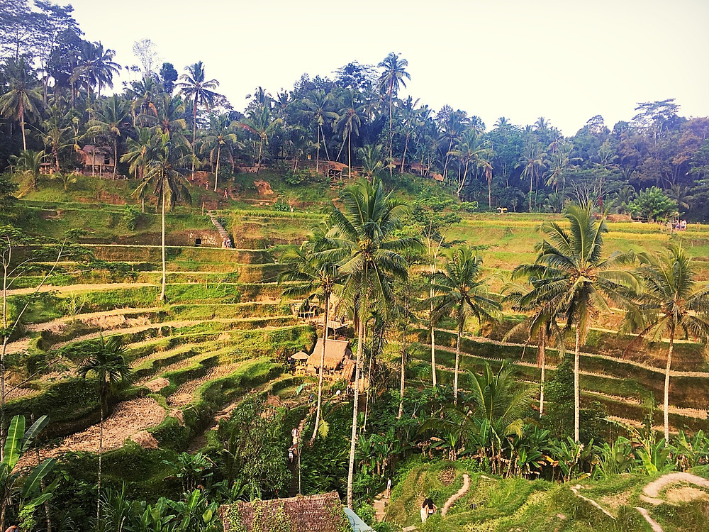 Tegellalang rice terrace, Indonesia rice field