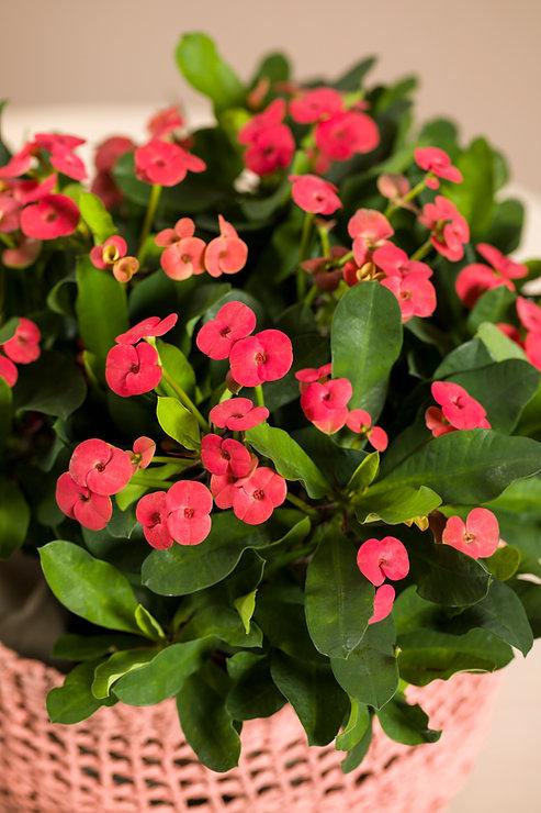 Euphorbia milii 300dpi 2020 (24).jpg