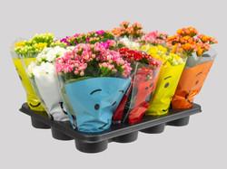 Kalanchoe dobrado Mini Porta vaso variado com 12 vasos
