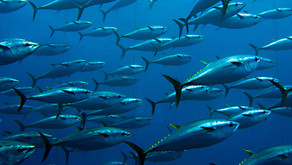 NIRSA: Día Mundial del atún, la Industria ecuatoriana impulsa y defiende la pesca sostenible.