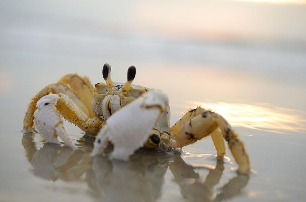 Folly Beach Ghost Crab