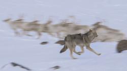 Wolf #3