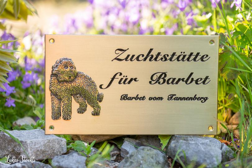 Barbet_vom_Tannenberg_R-8277.jpg