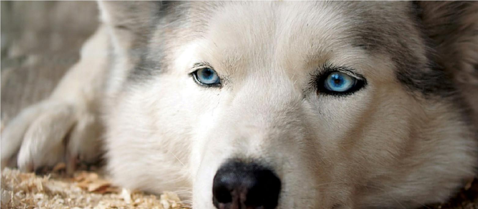 Cane husky occhi azzurri