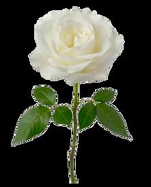 roseblanche.png