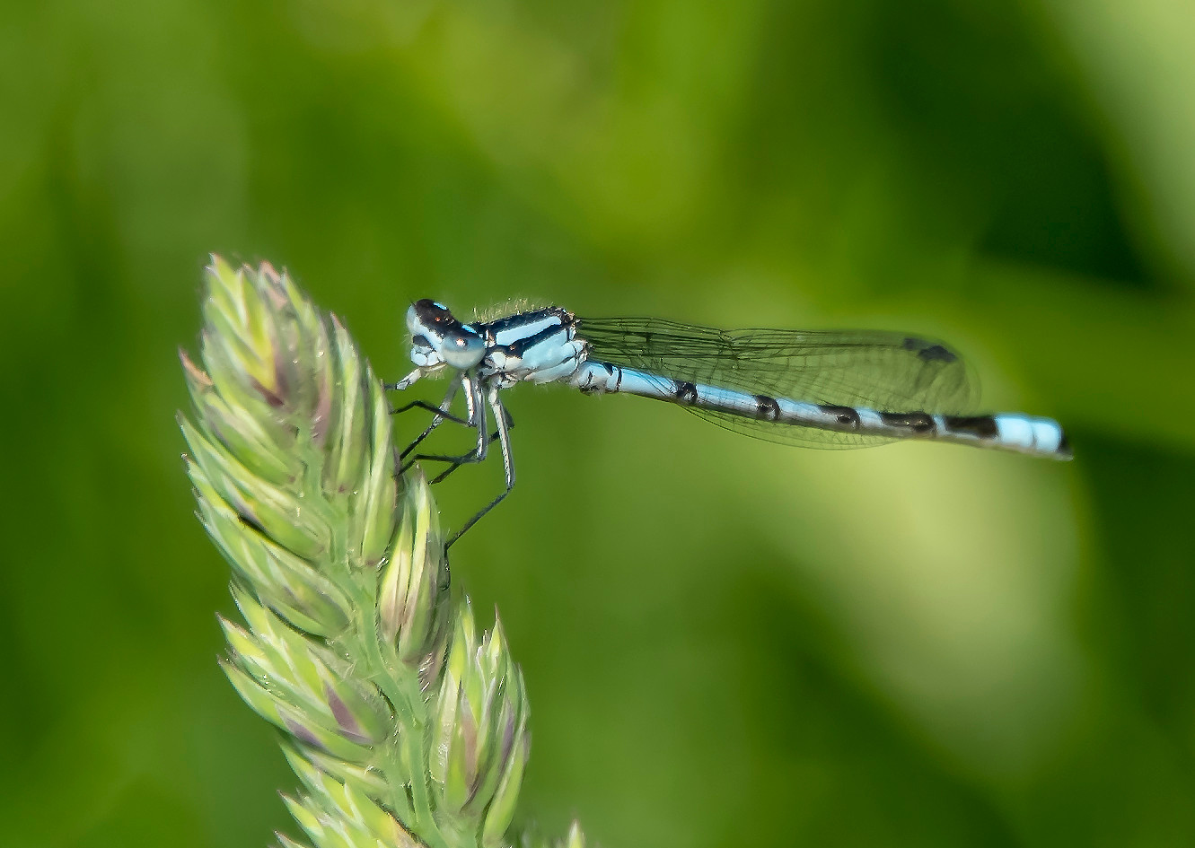 Damsel fly 02 by Phase Drive Media.jpg