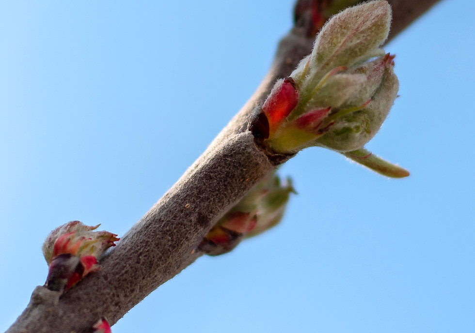 Spring apple buds 03 by Phase Drive Medi