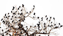 Blackbirds.jpg