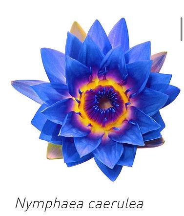 Blue lotus image.jpg