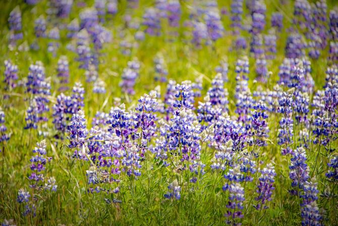Suey Creek Road - Wildflower Hunt