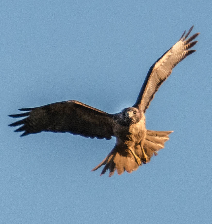 Healthy Pt. Reyes Hawk_2.jpg