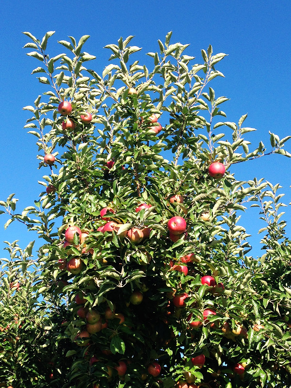 apple picking_edited.JPG