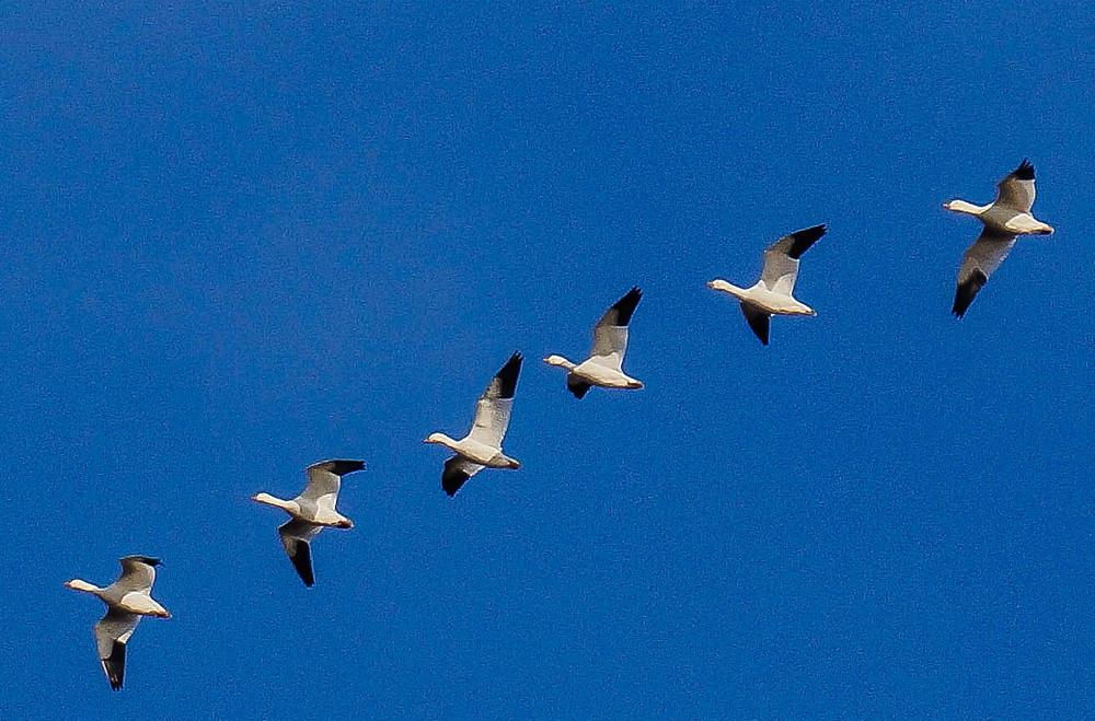 snow geese migration.jpg