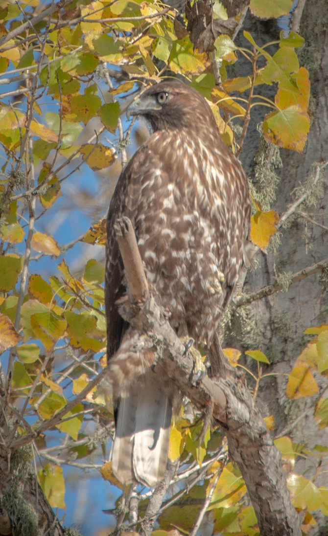 Healthy Hawk on a Sunday Afternoon
