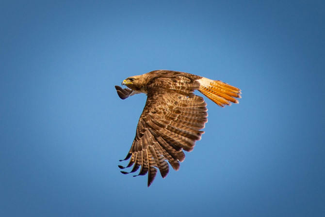 More Red Tail Hawk, Edna Valley and Coast