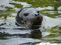 Seal  at Portaferry