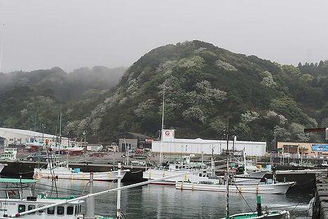 串本町の大島は全島にオオシマザクラが野生化している