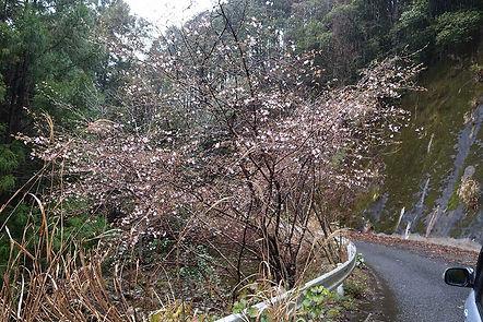 道沿いの藪に若いクマノザクラはしばしば見られる