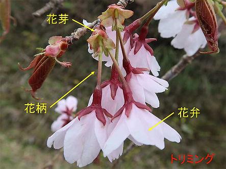 クマノザクラの花