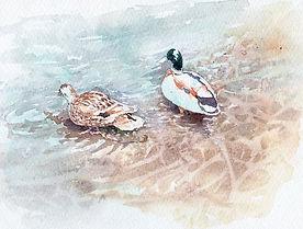 水彩画、日常の一コマ「つがいの鴨」福井良佑