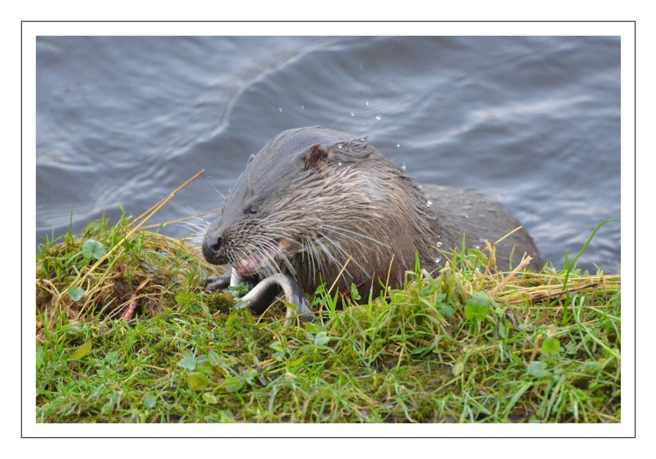 Otter on Nith