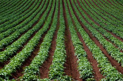 Potatoe Fields
