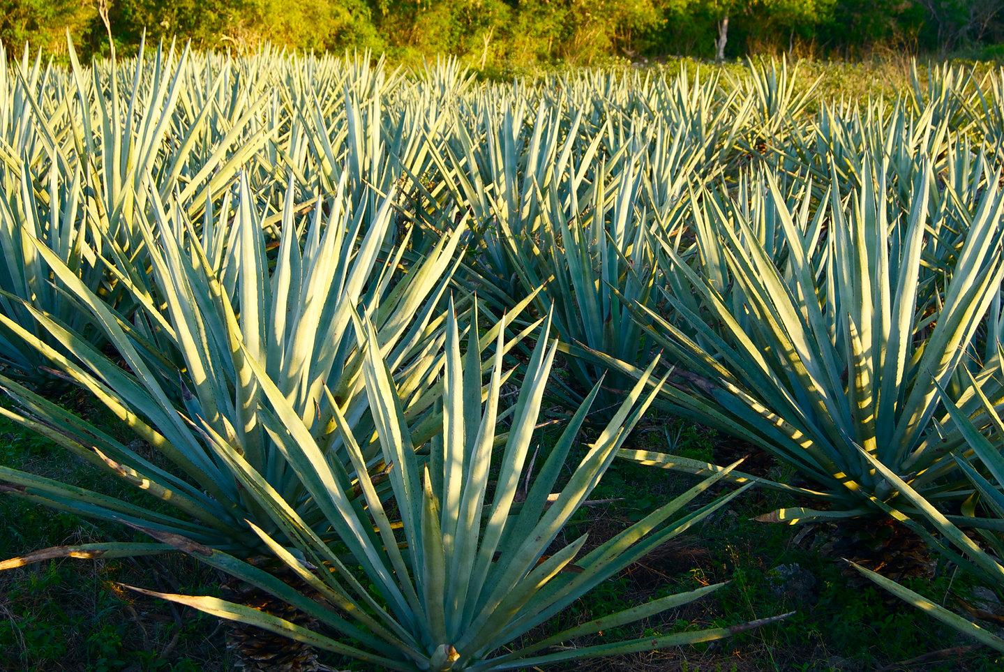 Henequén en los campos yucatecos