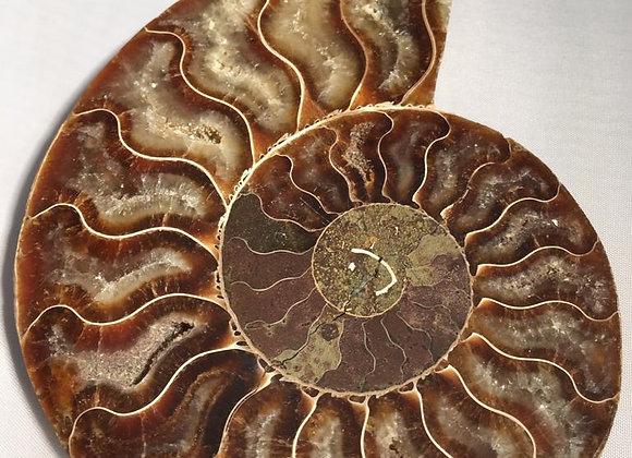Ammonite 11cm