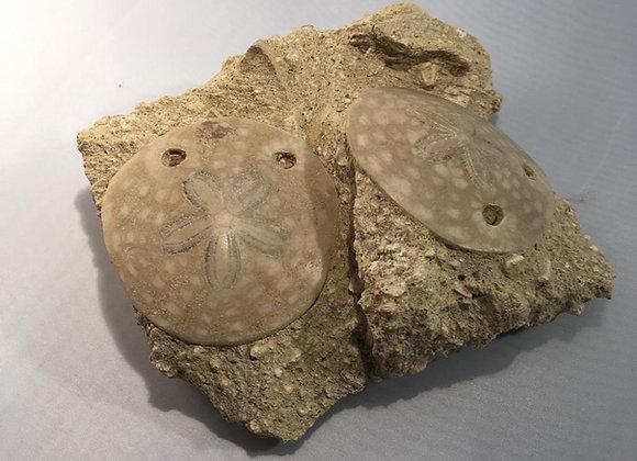 Amphiobe Bioculata Echinoid